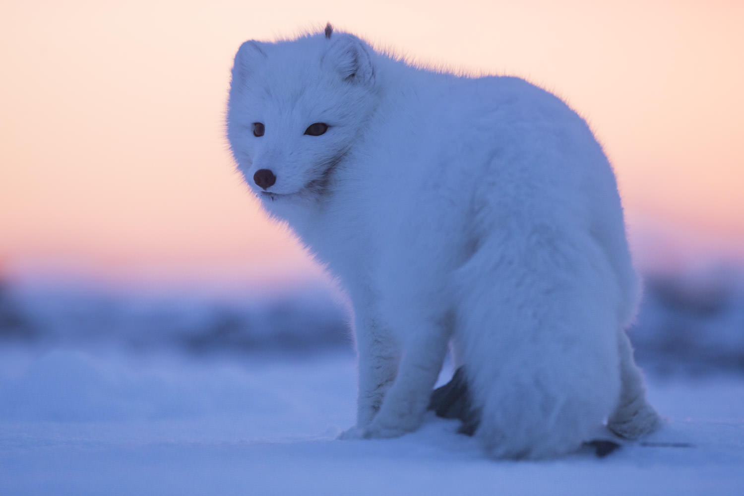 Arctic Fox and sunset. Nice evening.