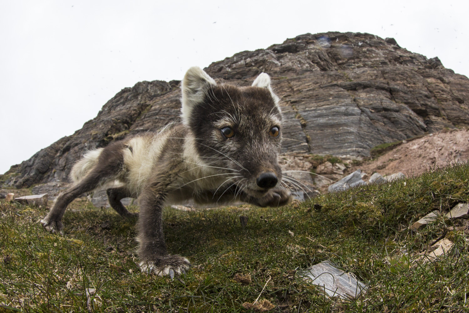 Arctic Fox near my remote controlled camera. The bird cliff behind. This was a very funny situation and with good company from the group I will never forget it.