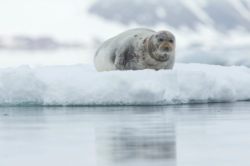 Bearded seal resting on drifting ice.